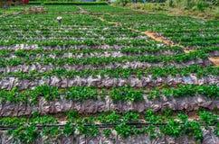 Pople在泰国草莓农场。 图库摄影