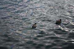 Popołudniowy jezioro z kaczkami Fotografia Stock