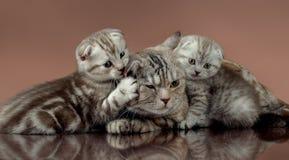 Popolare dello scottish del ` s del gatto di famiglia Fotografia Stock Libera da Diritti