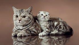 Popolare dello scottish del ` s del gatto di famiglia Fotografie Stock