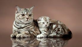 Popolare dello scottish del ` s del gatto di famiglia Immagini Stock Libere da Diritti