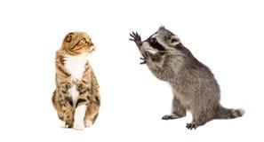 Popolare scozzese divertente del gatto e del procione fotografia stock libera da diritti
