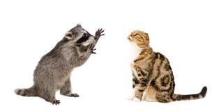 Popolare scozzese divertente del gatto e del procione fotografia stock