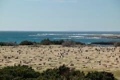 Popolazione dei pinguini di Magellanic Immagini Stock Libere da Diritti