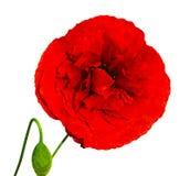 Popp Czerwony maczek odizolowywający na białym tle Czerwony maczek Beautifu Zdjęcie Stock