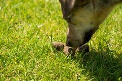 Poppa del cane Fotografie Stock
