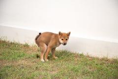 Poppa del cucciolo Immagine Stock Libera da Diritti
