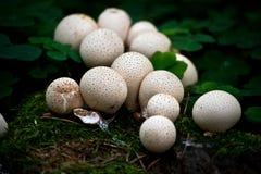 Poppa svampar royaltyfria bilder