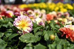 Poppar den gula och vita dahlian för 1 rosa färg ut fotografering för bildbyråer