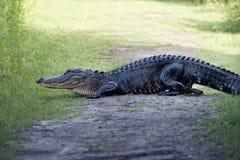 Poppe dell'alligatore americano su una traccia Immagine Stock