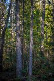 Poppel Cedar Hemlock Forest royaltyfri foto