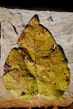 poppel fallen leaf Royaltyfria Foton