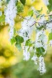 poppel ner som snö Royaltyfria Foton