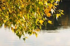 Poppelfilialer böjde över floden Royaltyfria Bilder