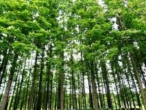 Poppelträd Arkivfoton