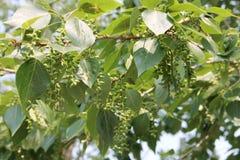 Poppelträd Royaltyfria Bilder