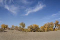 Poppelträd i höstsäsong Arkivfoto