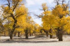 Poppelträd i höstsäsong Fotografering för Bildbyråer
