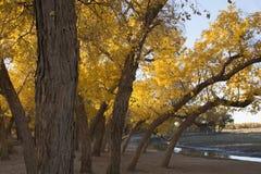 Poppelträd i höstsäsong Royaltyfri Fotografi