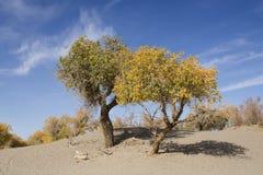 Poppelträd i höstsäsong Royaltyfria Foton