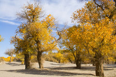 Poppelträd i höstsäsong Arkivbild