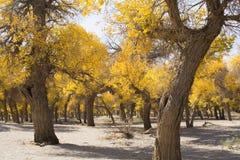 Poppelträd i höstsäsong Arkivbilder