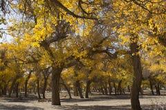 Poppelträd i höstsäsong Arkivfoton