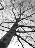 Poppelträd i vinter royaltyfria bilder