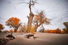 Poppelträd växer orubbligt i öken arkivbild