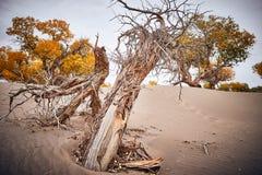 Poppelträd växer orubbligt i öken arkivfoto
