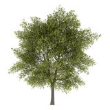 Poppelträd som isoleras på vit Royaltyfri Bild