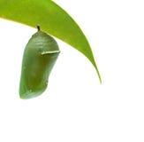 Poppen van monarchvlinder Stock Afbeeldingen