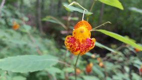 Popper Flower. Orange and red flowers found in summer in upstate NY Stock Image
