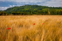 Poppes στον τομέα κοντά σε Monleale Piedmont Στοκ εικόνα με δικαίωμα ελεύθερης χρήσης