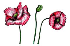 Poppies drawn with pencils isolated on white background royalty free illustration