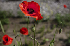 Poppie Photographie stock