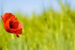 Poppie auf grünem Feld Lizenzfreies Stockfoto