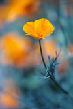 Poppie dourado de Califórnia no azul profundo Fotos de Stock Royalty Free