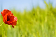 Poppie on green field Royalty Free Stock Photo