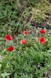 Poppie. In a meadow in la spezia Stock Photography