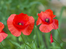 Poppie Royalty Free Stock Photo