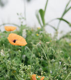 Poppie Royalty Free Stock Images