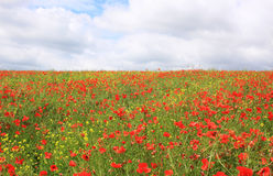 Poppie and rape Seed field Stock Photos