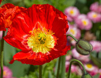 Poppie Royalty Free Stock Photography