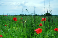 Poppie. Red poppies blooming in the wild meadow Stock Images