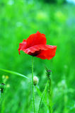 Poppie Royalty Free Stock Photos