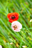 Poppie rojo y rosado Fotografía de archivo libre de regalías