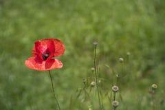 Poppie vermelho no campo verde Fotografia de Stock