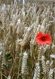 Poppie in a wheat field Stock Image