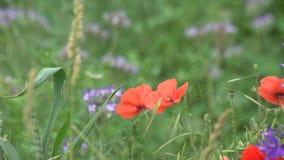 Poppiees rojos en campo de trigo amarillo metrajes